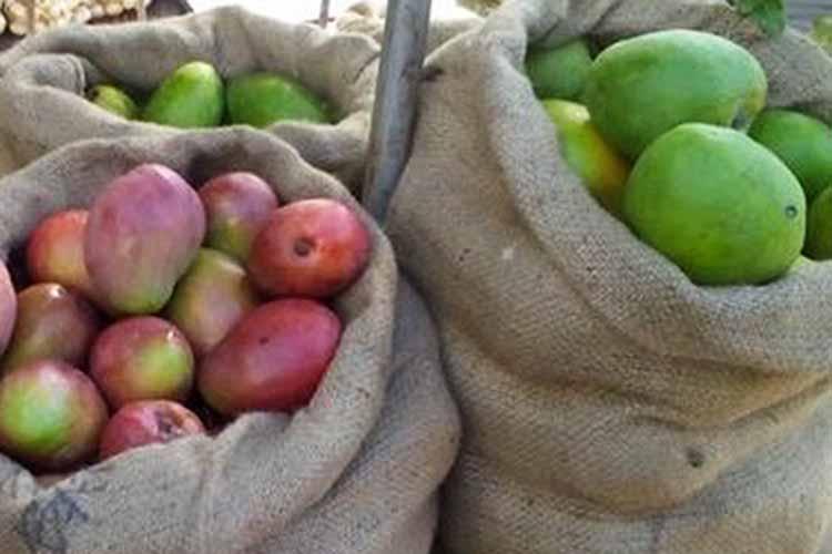 Cecid flies threaten Ilocos mango farms anew