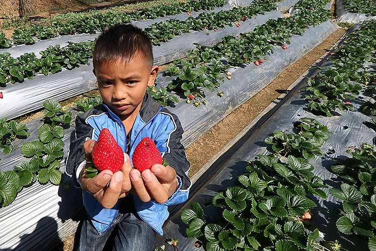 Baguio mulls launching strawberry farm for agro-tourism by summer