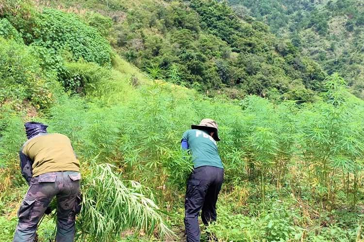 Stop planting marijuana: Benguet guv