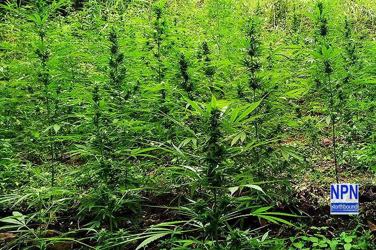 PDEA mulls livelihood assistance for marijuana planters
