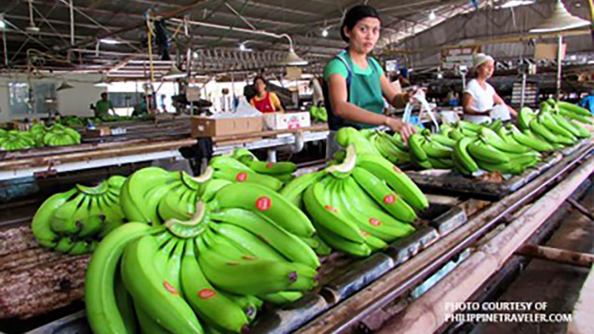 Growers want PH-SoKor banana tariff stalemate resolved