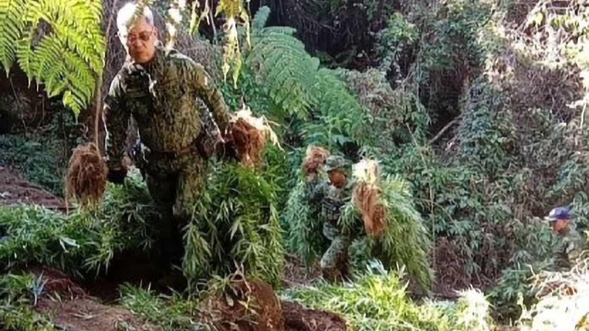P10-M marijuana uprooted in Benguet town