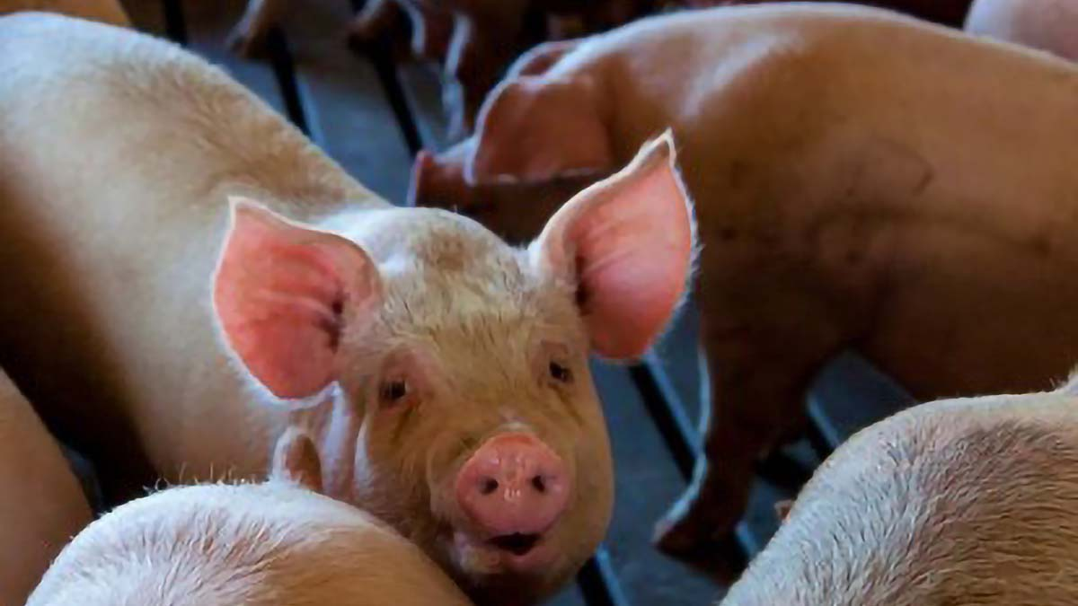 More than 100 hogs culled in NoCot due to ASF infection